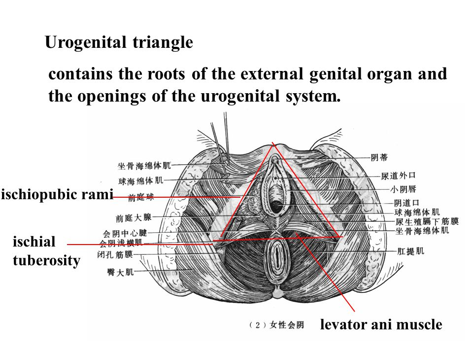 Urogenital triangle contains the roots of the external genital organ and the openings of the urogenital system.
