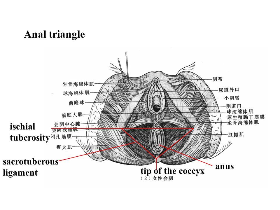 Anal triangle ischial tuberosity sacrotuberous ligament anus