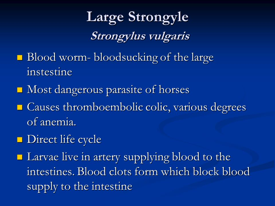 Large Strongyle Strongylus vulgaris