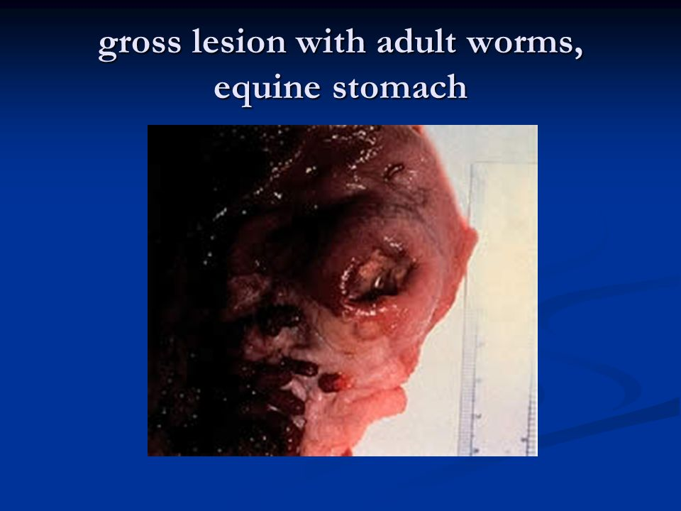 gross lesion with adult worms, equine stomach