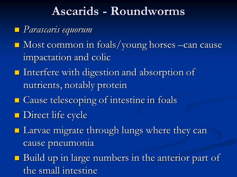 Ascarids - Roundworms Parascaris equorum