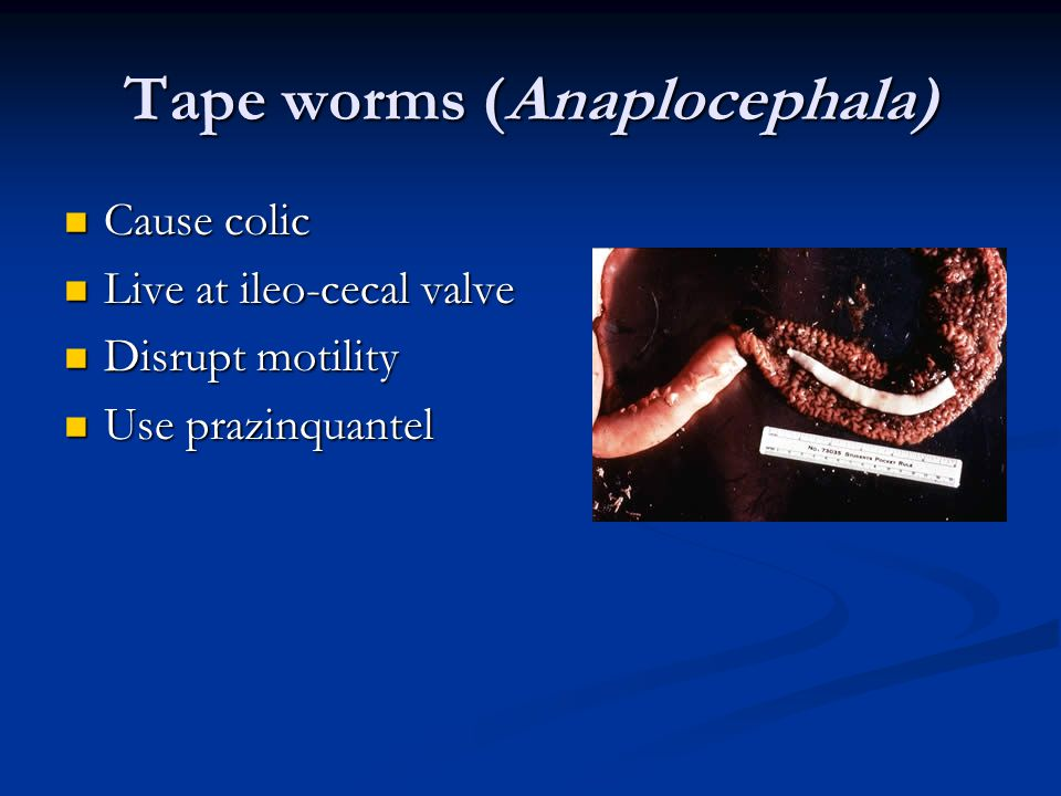 Tape worms (Anaplocephala)