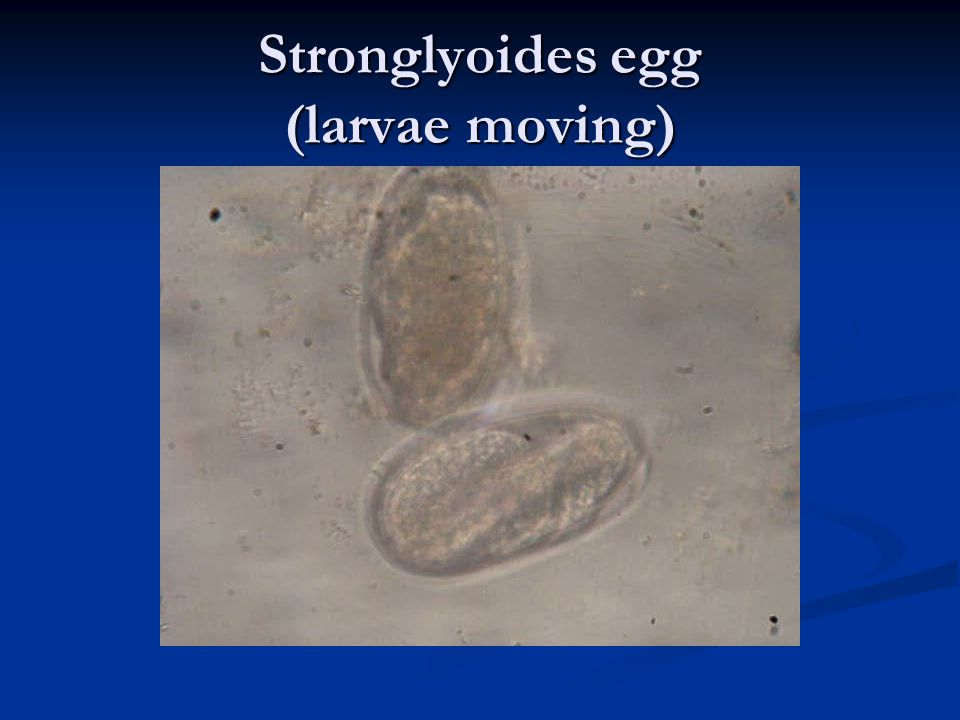 Stronglyoides egg (larvae moving)