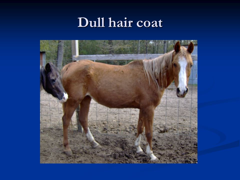 Dull hair coat