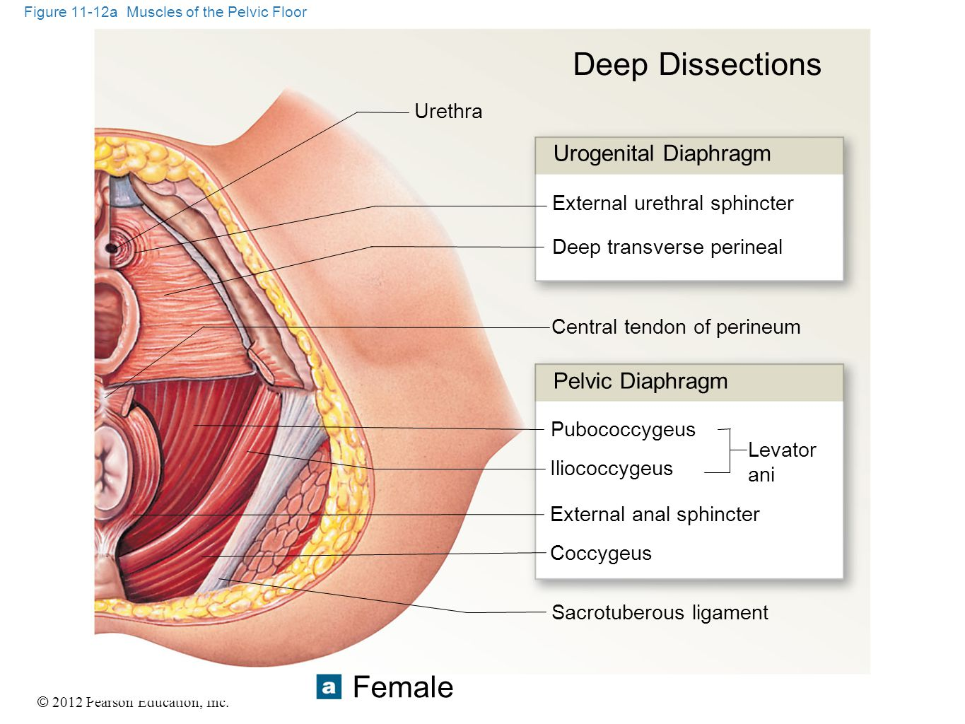Figure 11-12a Muscles of the Pelvic Floor