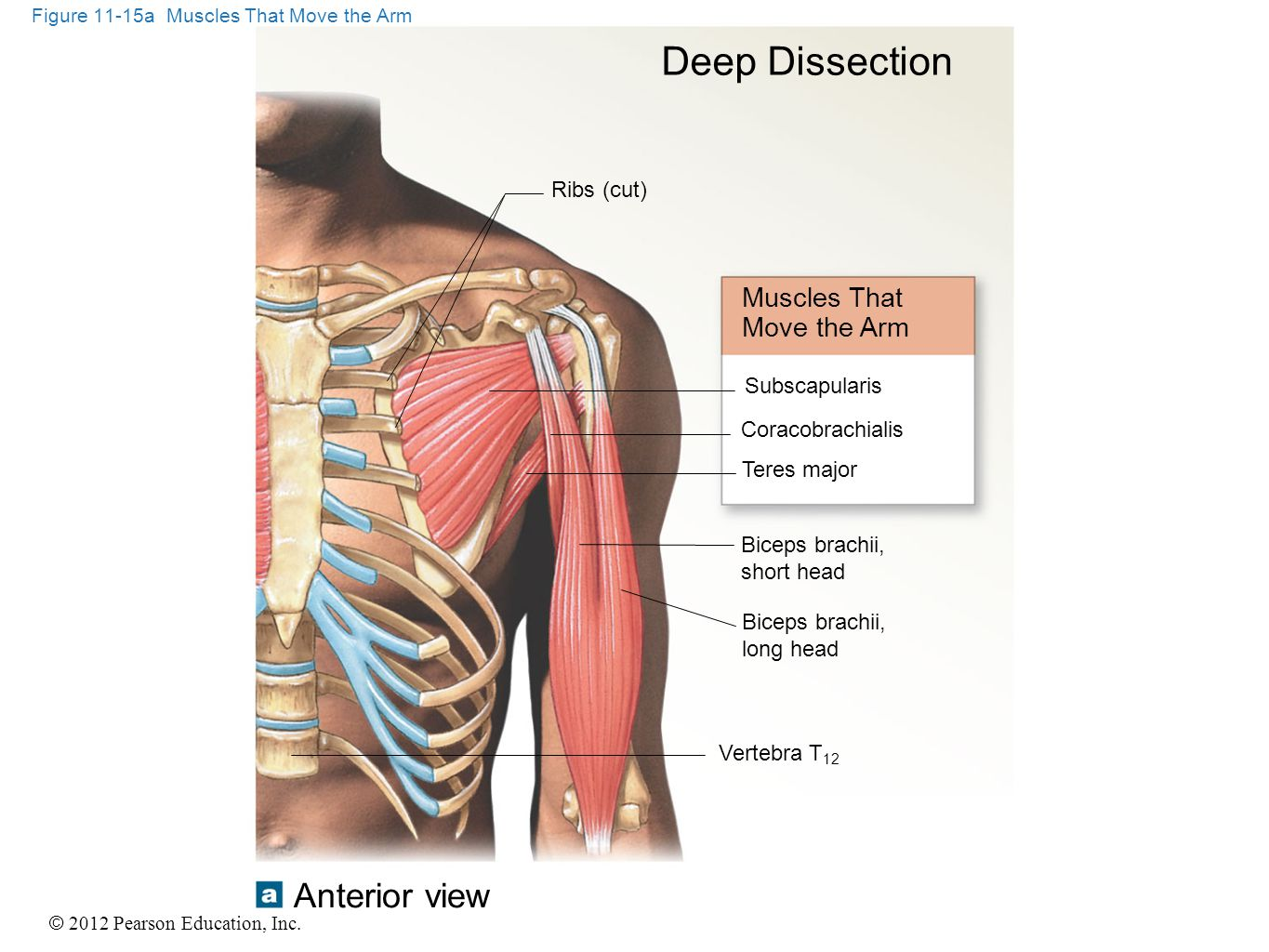 Figure 11-15a Muscles That Move the Arm