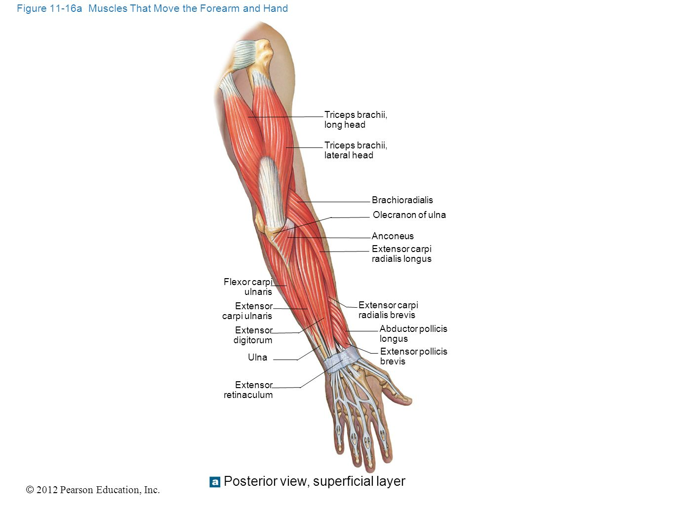 Figure 11-16a Muscles That Move the Forearm and Hand
