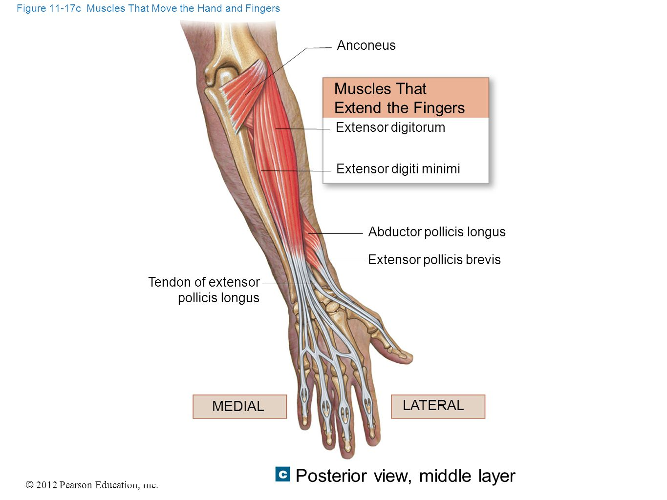 Figure 11-17c Muscles That Move the Hand and Fingers