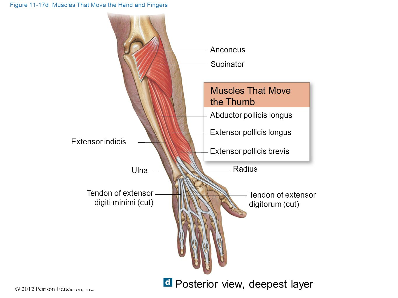 Figure 11-17d Muscles That Move the Hand and Fingers