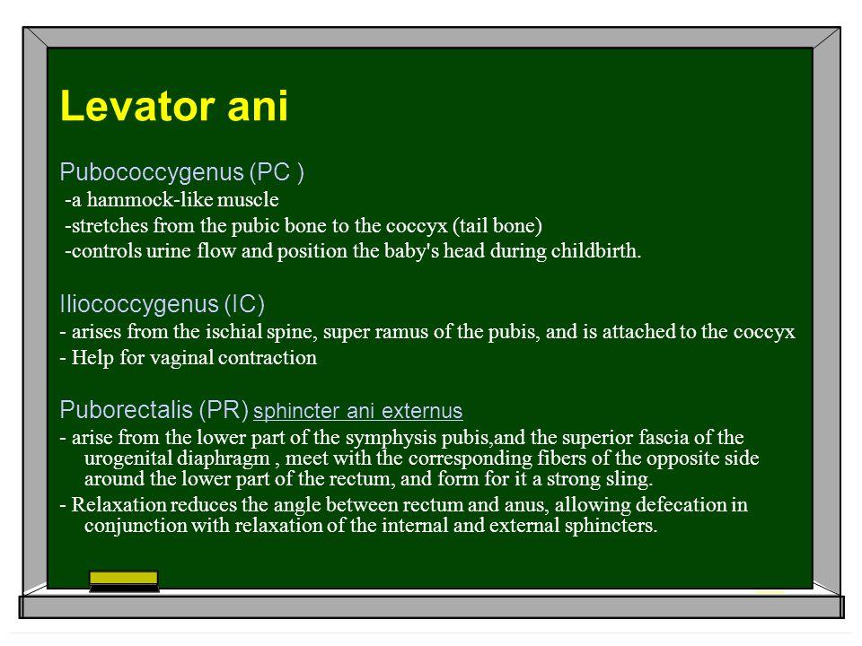 Levator ani Pubococcygenus (PC ) Iliococcygenus (IC)
