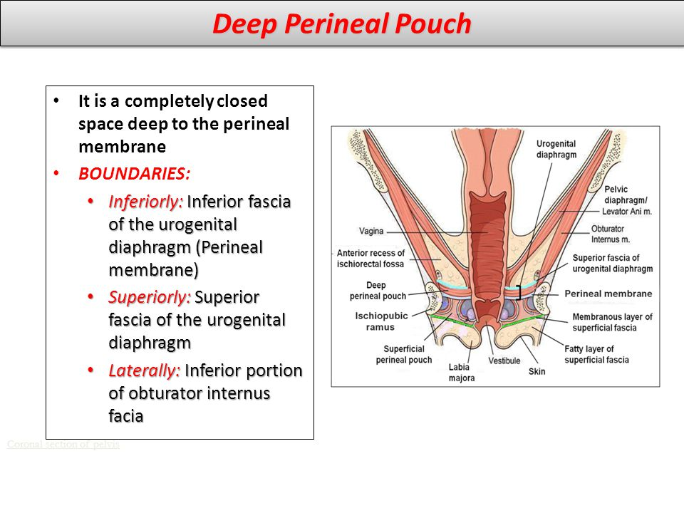 Deep Perineal Pouch It is a completely closed space deep to the perineal membrane. BOUNDARIES: