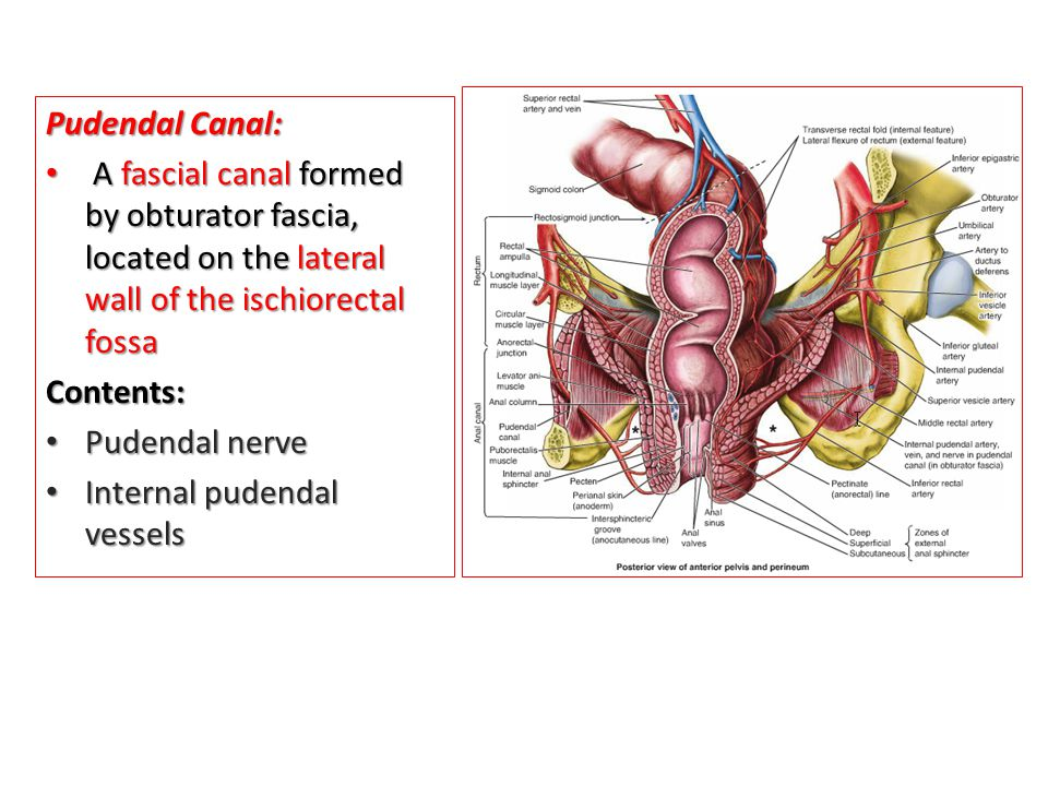 Pudendal Canal: A fascial canal formed by obturator fascia, located on the lateral wall of the ischiorectal fossa.