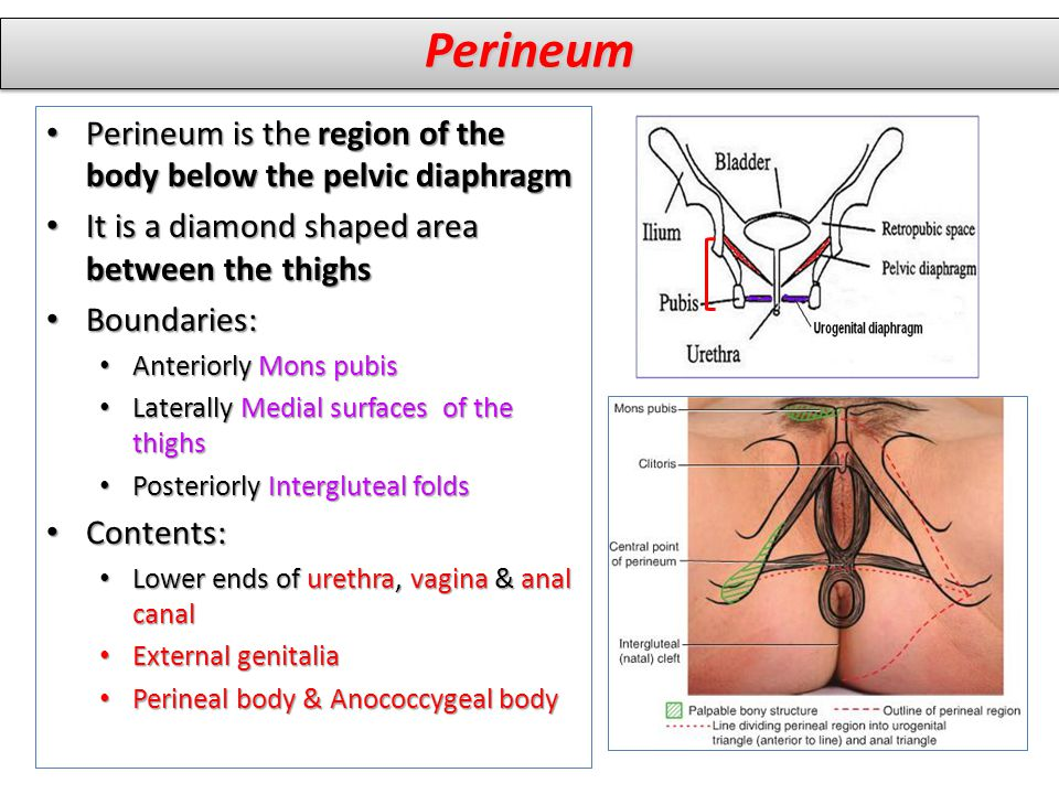 Perineum Perineum is the region of the body below the pelvic diaphragm