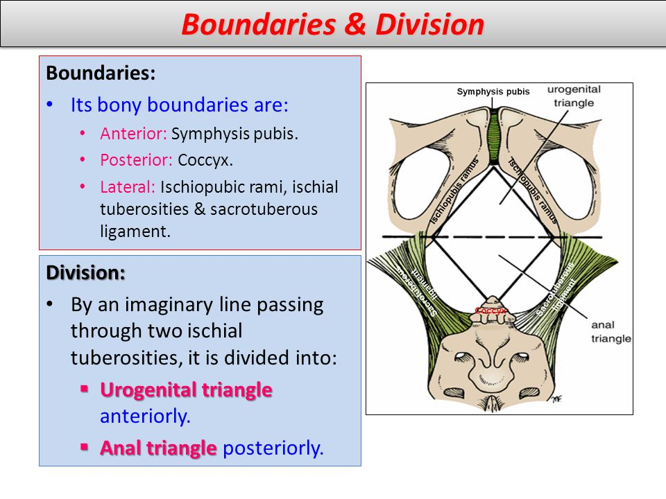 Boundaries & Division Boundaries: Its bony boundaries are: Division: