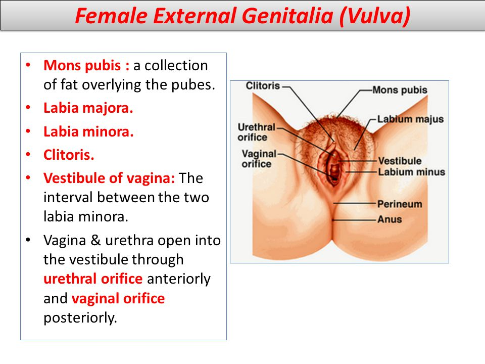 Female External Genitalia (Vulva)