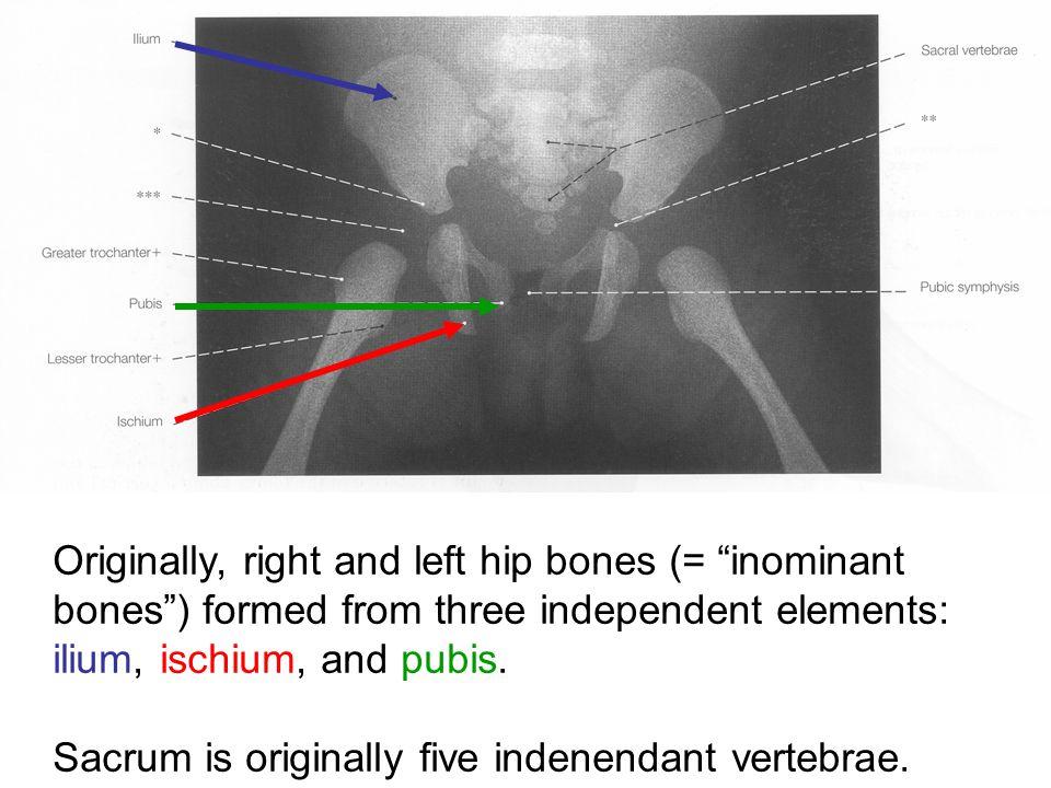 Originally, right and left hip bones (= inominant bones ) formed from three independent elements: ilium, ischium, and pubis.