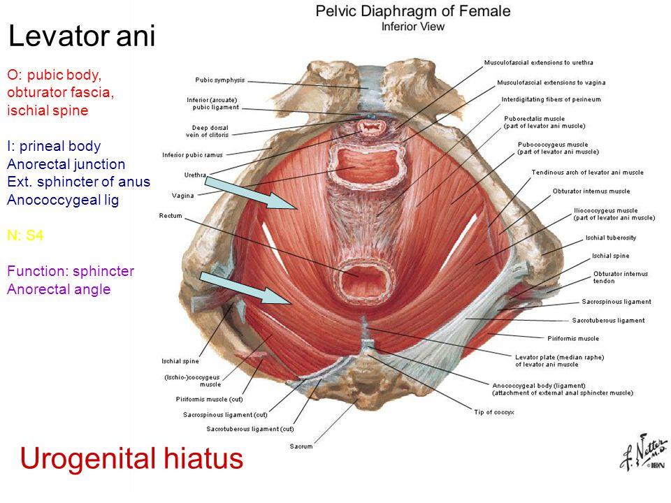 Levator ani Urogenital hiatus O: pubic body, obturator fascia,