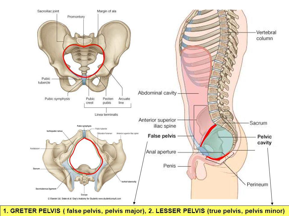 1. GRETER PELVIS ( false pelvis, pelvis major), 2