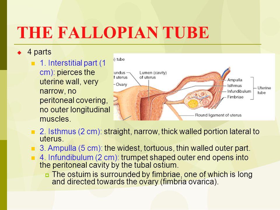 THE FALLOPIAN TUBE 4 parts