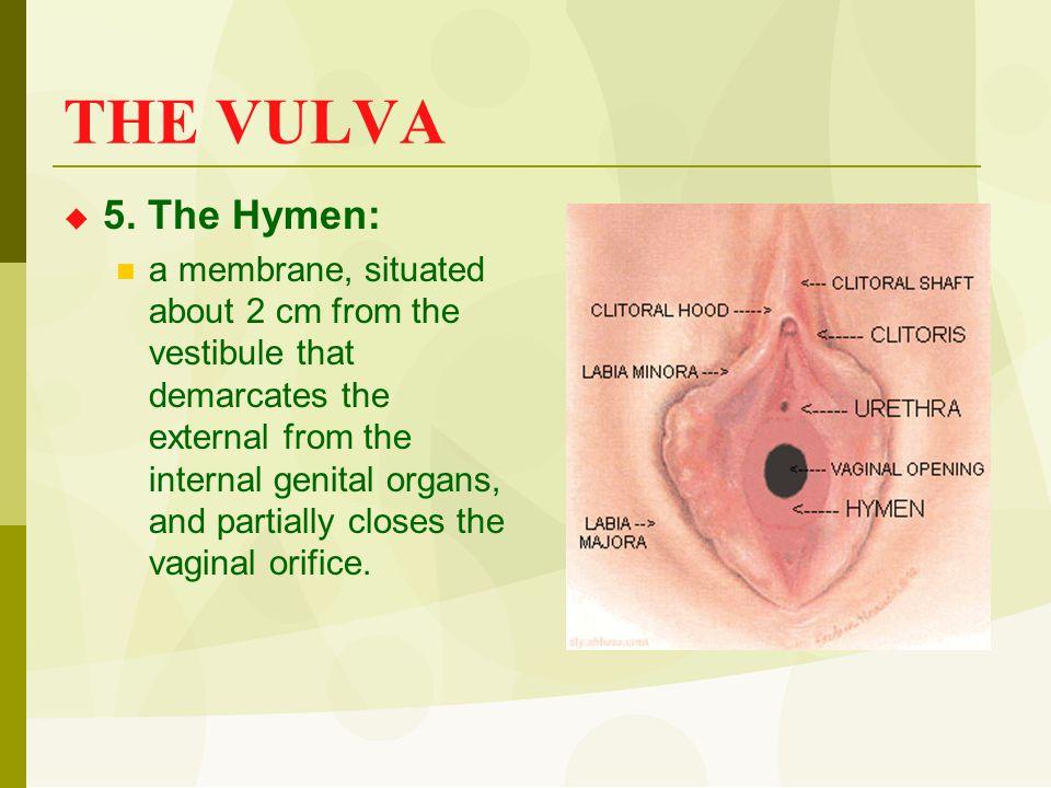 THE VULVA 5. The Hymen: