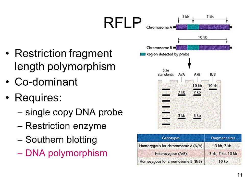 RFLP Restriction fragment length polymorphism Co-dominant Requires: