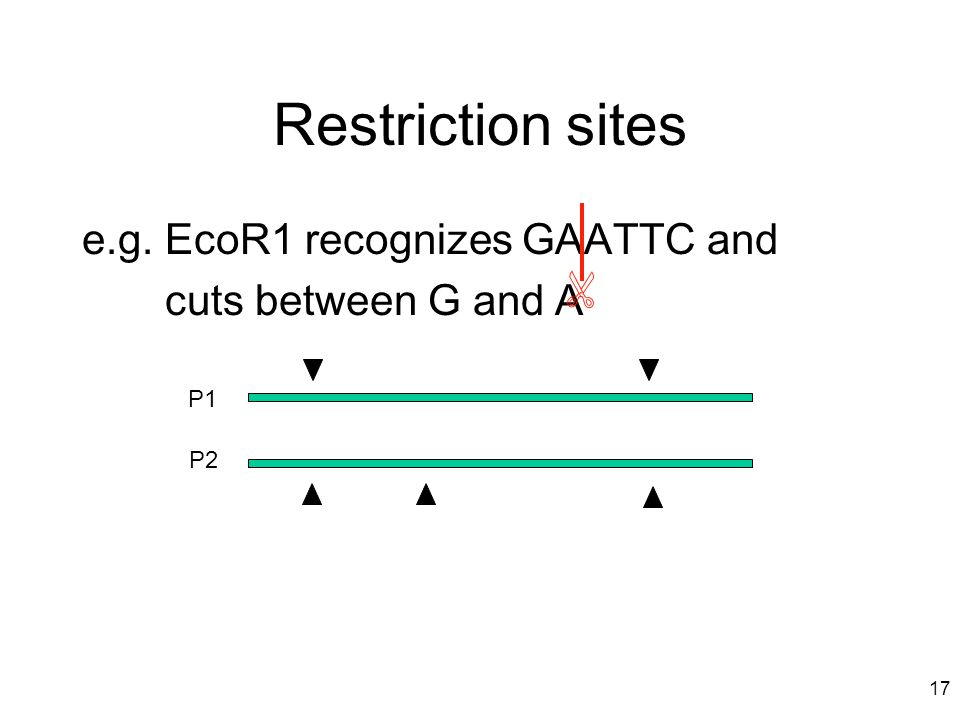 Restriction sites e.g. EcoR1 recognizes GAATTC and