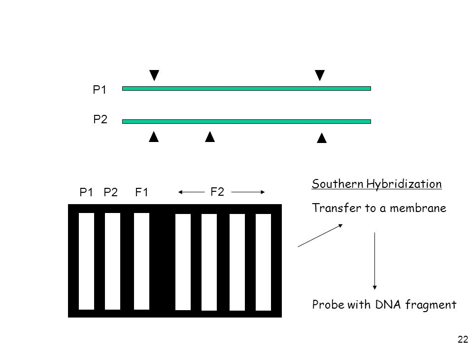 P1 P2 Transfer to a membrane Probe with DNA fragment Southern Hybridization P1 P2 F1 F2