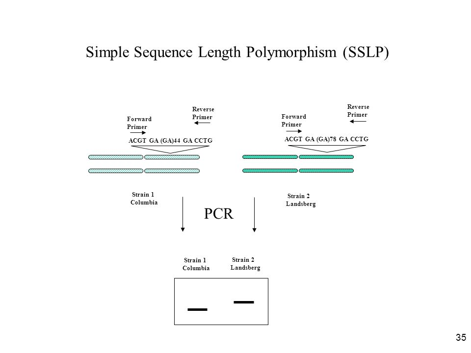 Simple Sequence Length Polymorphism (SSLP)