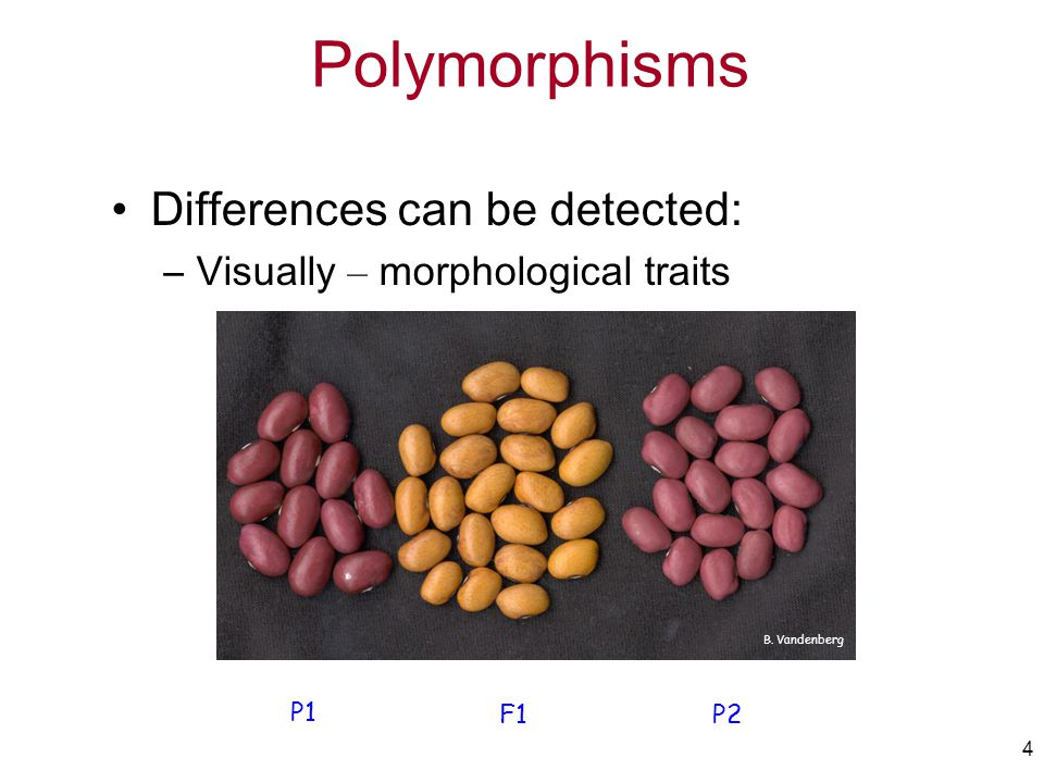 Polymorphisms Differences can be detected: