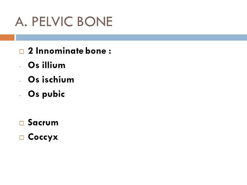 A. PELVIC BONE 2 Innominate bone : Os illium Os ischium Os pubic