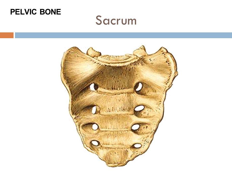 Sacrum PELVIC BONE