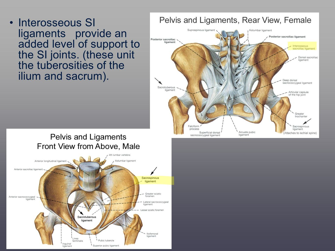 Interosseous SI ligaments provide an added level of support to the SI joints.
