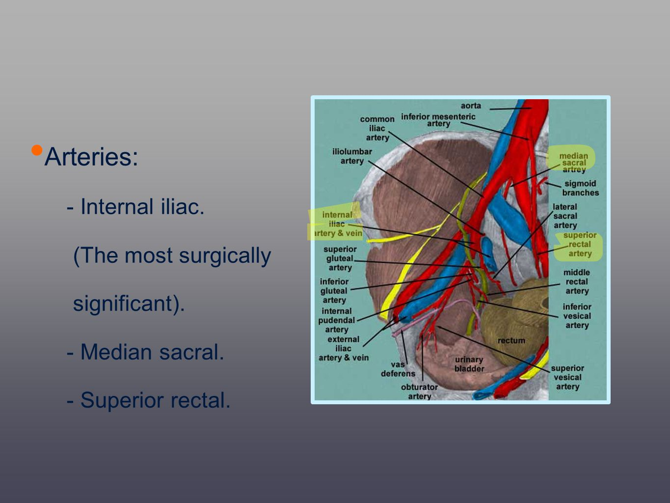 Arteries: - Internal iliac. (The most surgically significant).