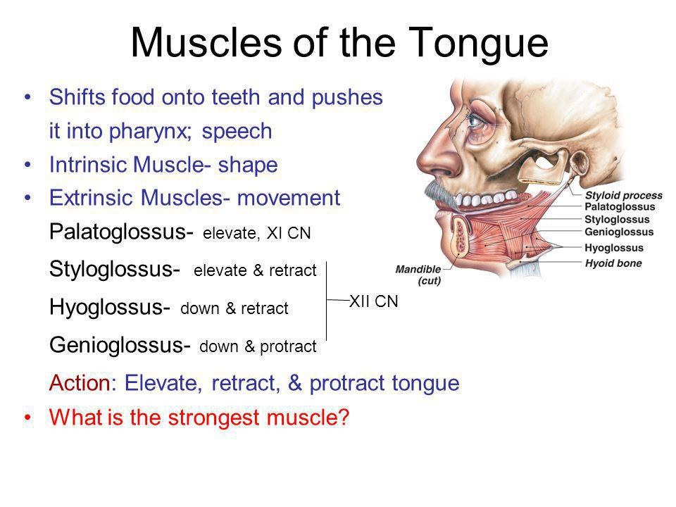 Muscles of the Tongue Styloglossus- elevate & retract