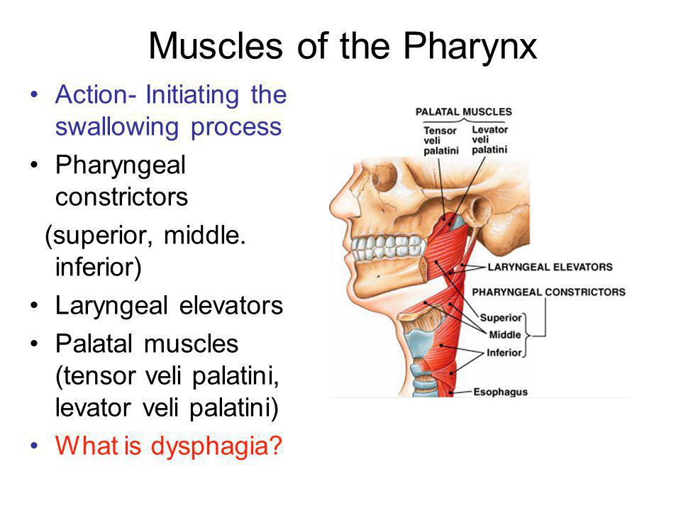 Muscles of the Pharynx Action- Initiating the swallowing process