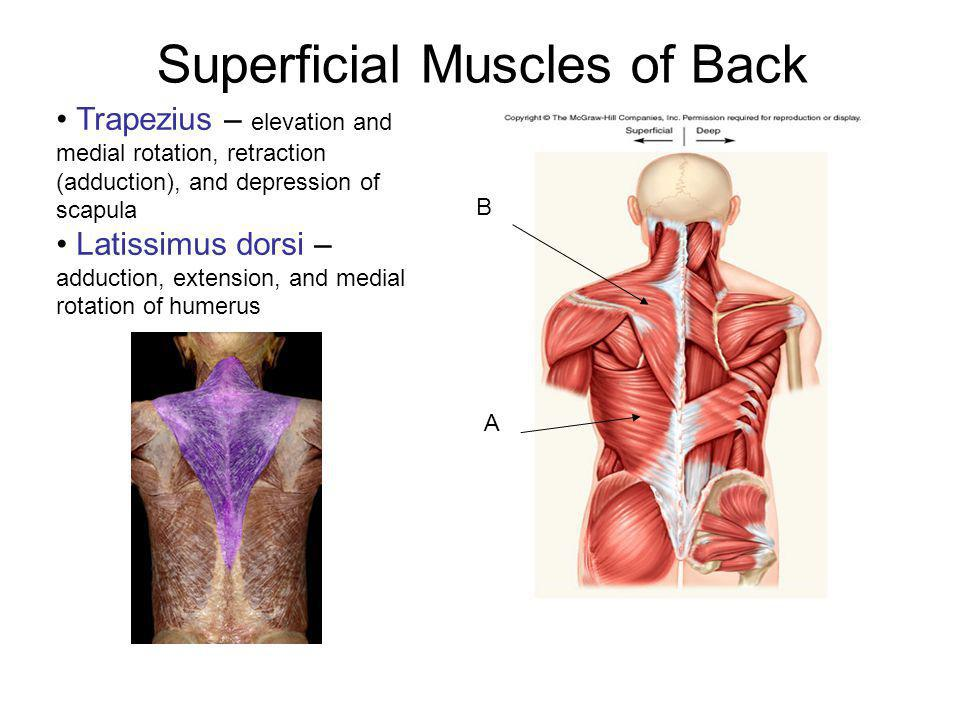 Superficial Muscles of Back