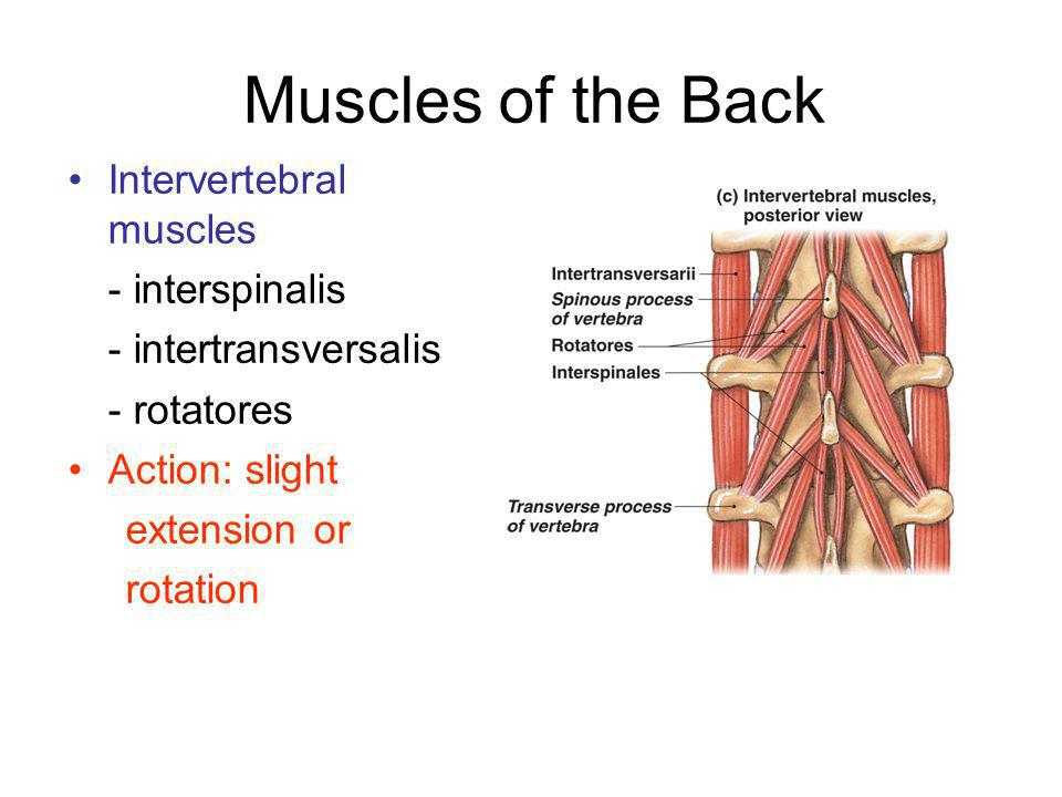 Muscles of the Back Intervertebral muscles - interspinalis