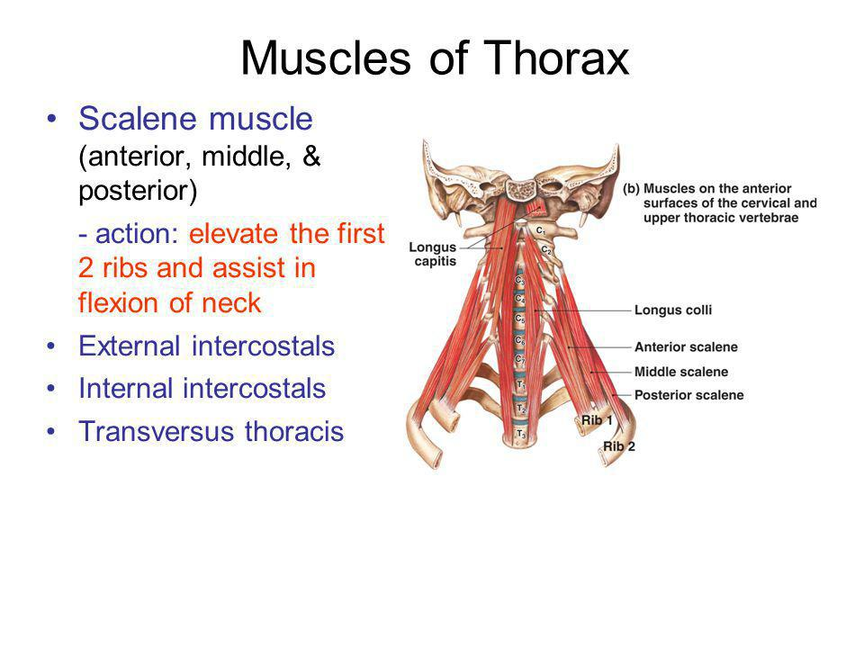 Muscles of Thorax Scalene muscle (anterior, middle, & posterior)