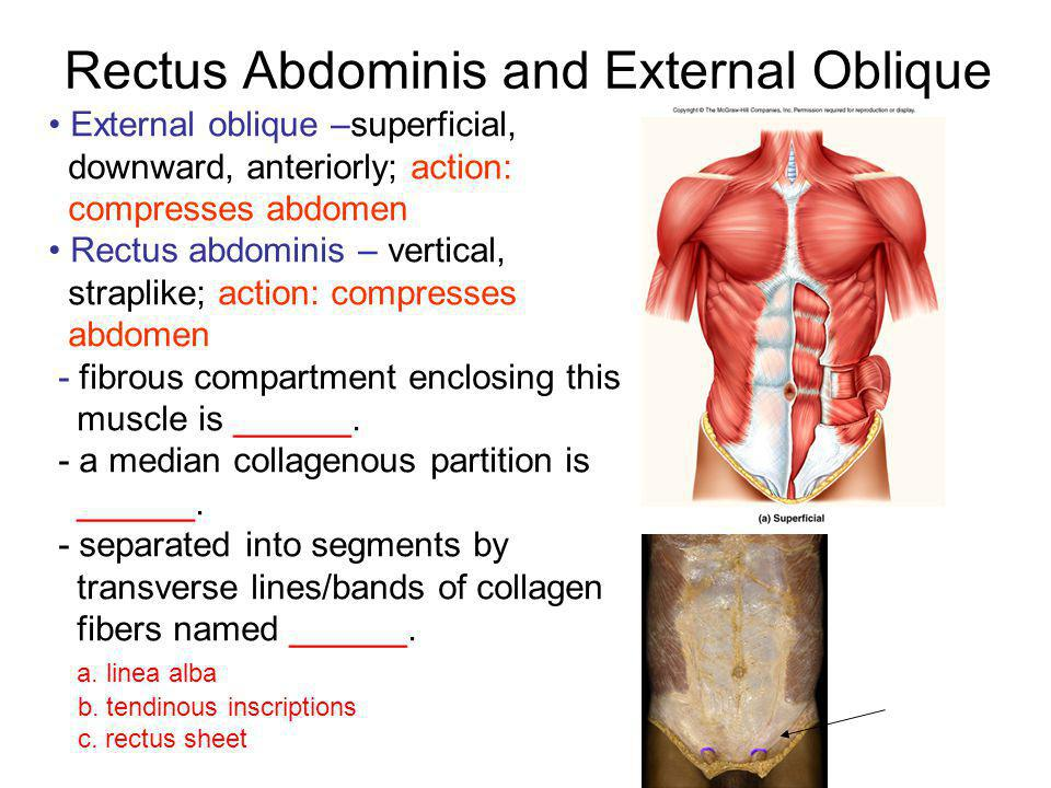 Rectus Abdominis and External Oblique