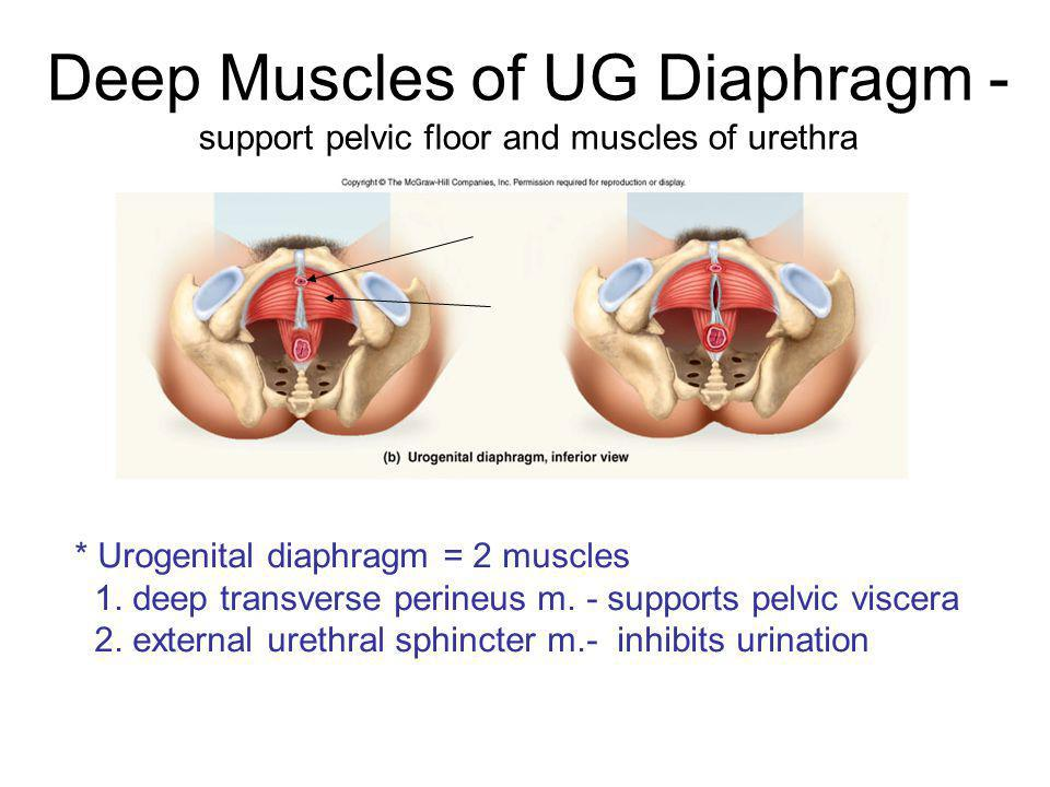 Deep Muscles of UG Diaphragm - support pelvic floor and muscles of urethra