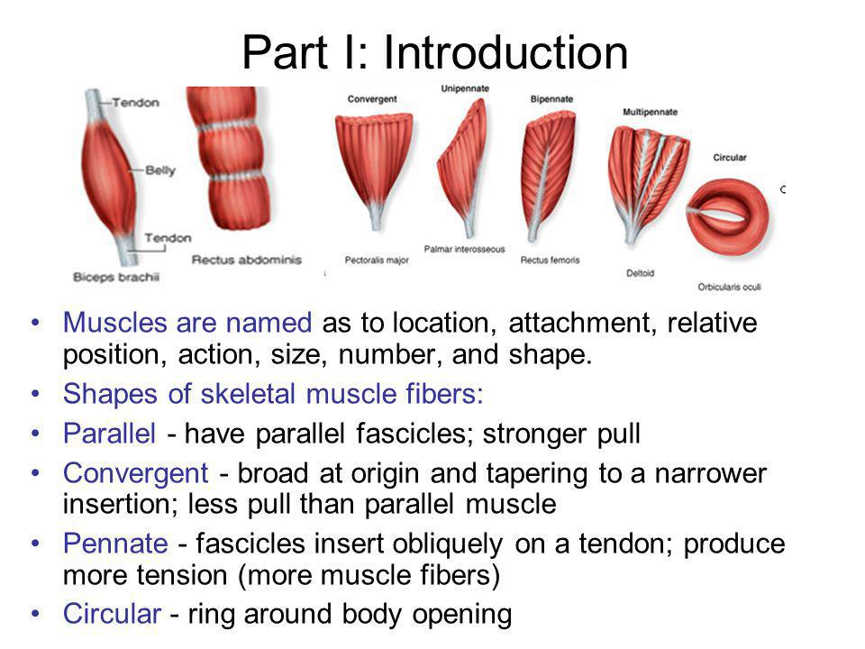 Part I: Introduction Muscles are named as to location, attachment, relative position, action, size, number, and shape.