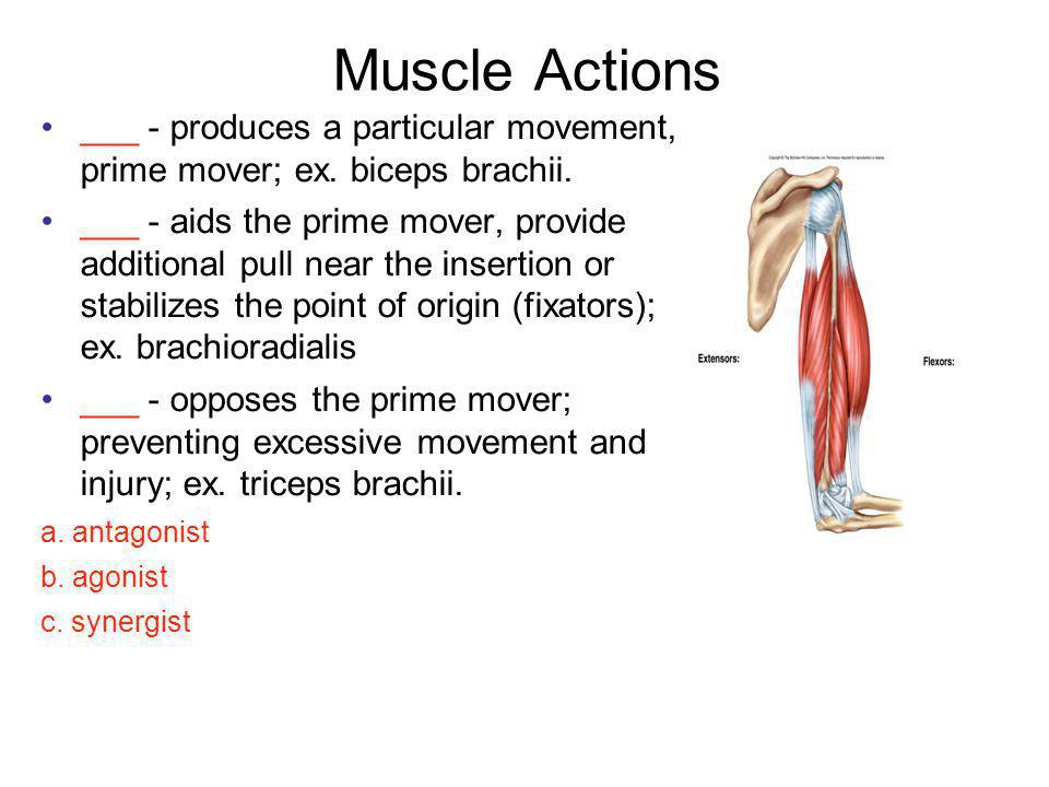 Muscle Actions ___ - produces a particular movement, prime mover; ex. biceps brachii.