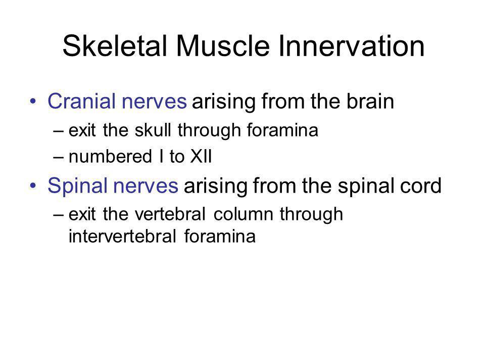 Skeletal Muscle Innervation