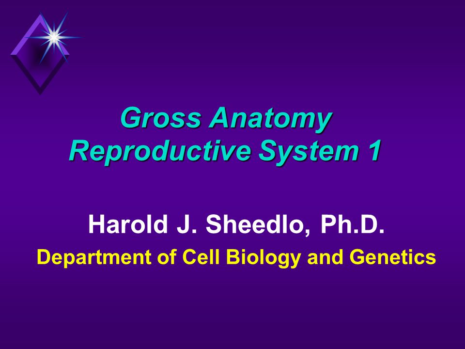 Gross Anatomy Reproductive System 1