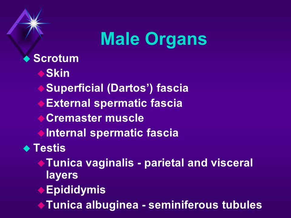 Male Organs Scrotum Skin Superficial (Dartos') fascia