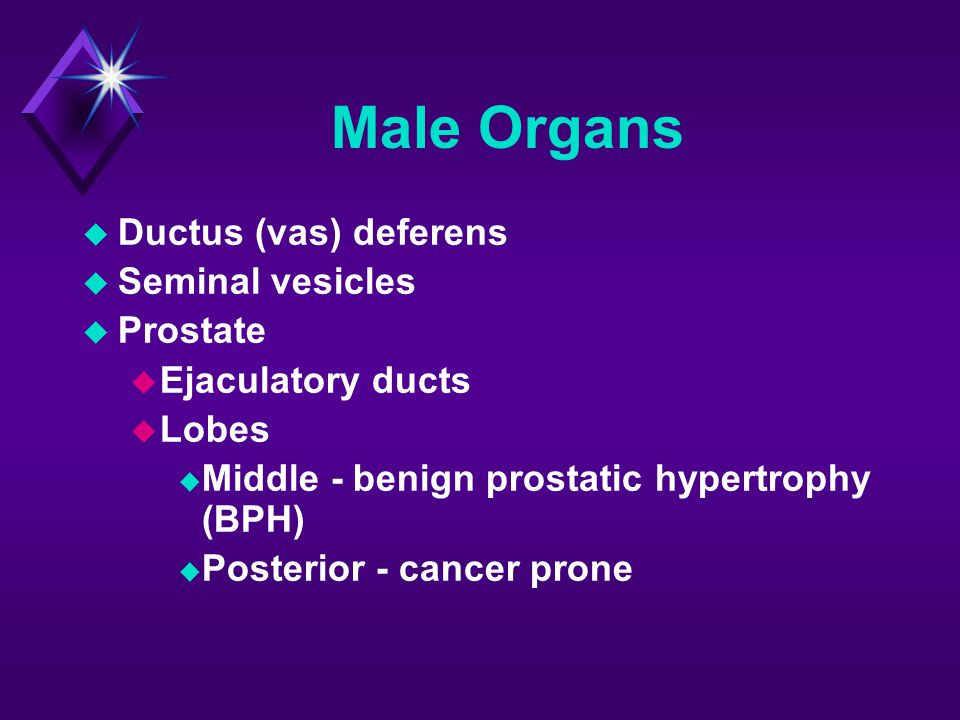 Male Organs Ductus (vas) deferens Seminal vesicles Prostate