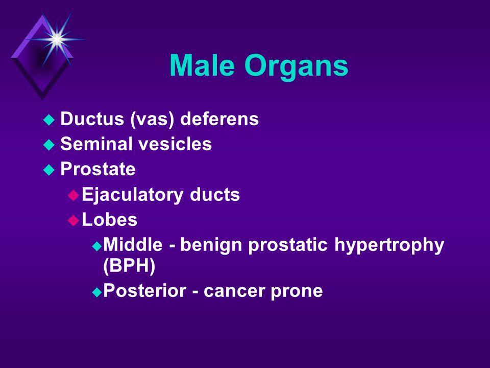 Male Organs Ductus (vas) deferens Seminal vesicles Prostate