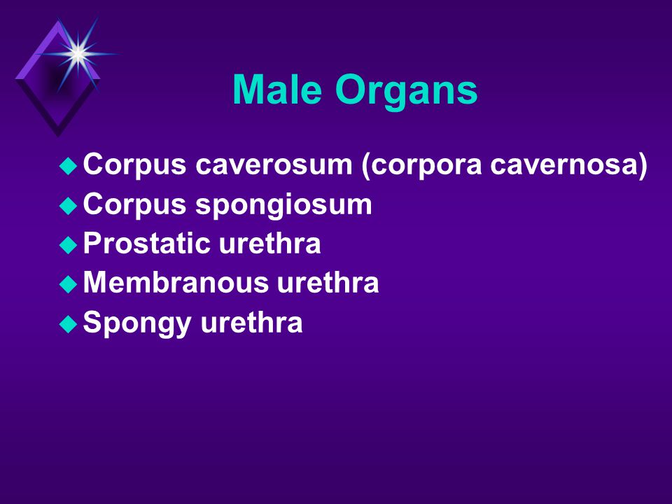 Male Organs Corpus caverosum (corpora cavernosa) Corpus spongiosum