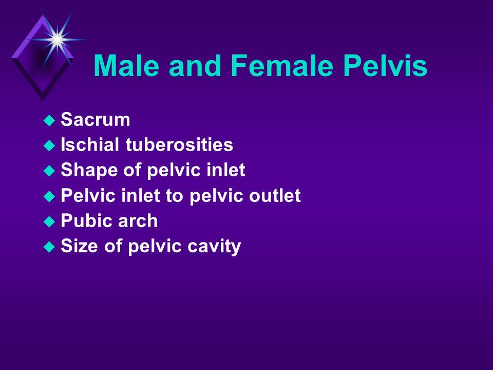 Male and Female Pelvis Sacrum Ischial tuberosities