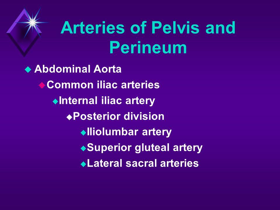 Arteries of Pelvis and Perineum